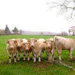 Nieuwsgierige Limousin-koeien